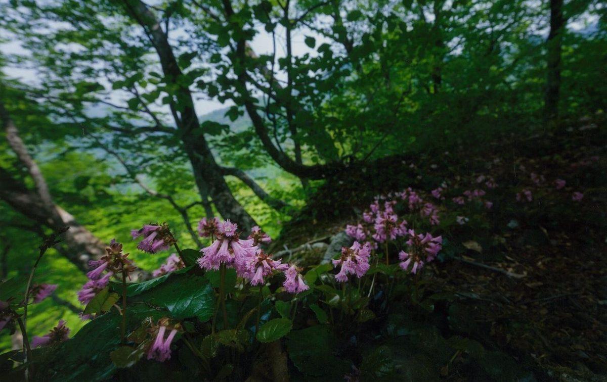 フォトコンテスト:イワカガミ咲く奥裾花自然園